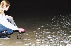 Grunions at night by Dr. Karen Martin, Pepperdine University