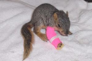 Squirrel-bandaged-leg
