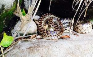 Gopher Snake Family, photo by Jayni Shuman