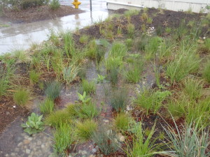 LMU rain garden, photo by Karina Johnston, The Bay Foundation