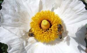 Matilija Poppy with bees, photo by Bob Sussman, Matilija Nursery.jpg