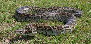 Invasive Burmese Python, photo by National Park Service