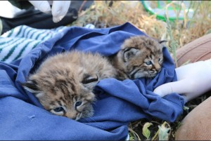 living-lightly-guide-santa-monica-mountains-baby-bobcat-2