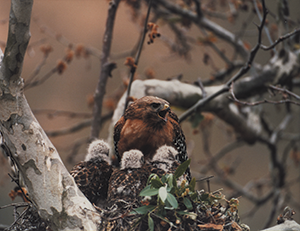 Red-shouldered Hawk and Chicks