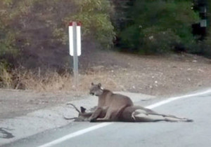 A mountain lion enjoys her dinner on Mulholland Drive in the Santa Monica Mountains. (Photo Courtesy NPS/Irv Nilsen)