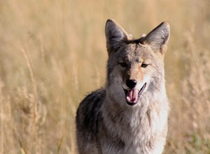 Coyote, photo by Louise Rishoff